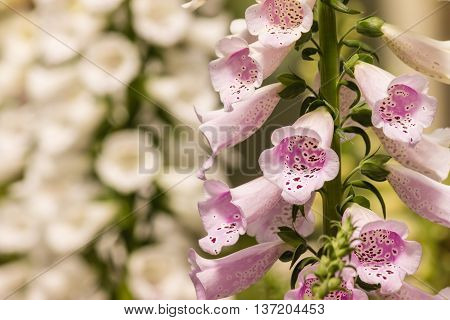 close up of pink foxglove flowers in bloom