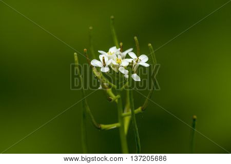 Garlic Mustard (Alliaria petiolata) flowering in a forest