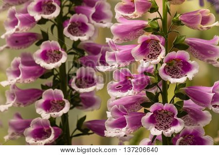 close up of purple foxglove flowers in bloom