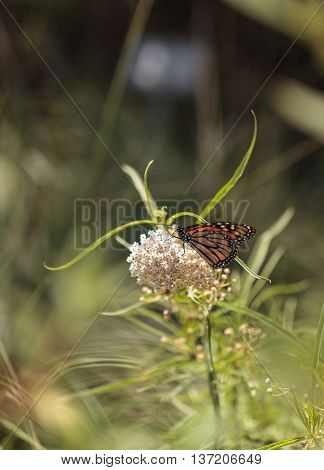Monarch butterfly, Danaus plexippus, on a bush in spring in Laguna Beach, Southern California