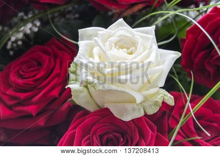 white full-blown rose, surrounded by red roses, close-up