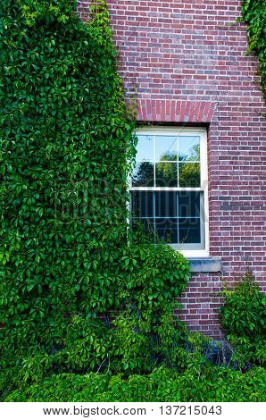 Ivy Covered Dorm at the University of New Brunswick