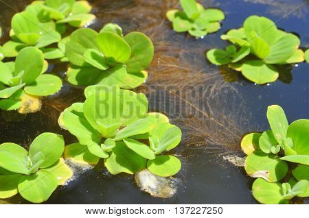 Green duckweed on the lake in asia