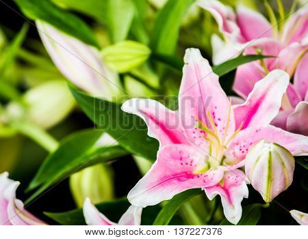 pink  flower in market  chiangmai  province Thailand.