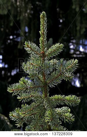 the tip of the green spruce in the forest