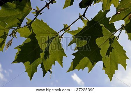 Two green leaves with shadows of other leaves