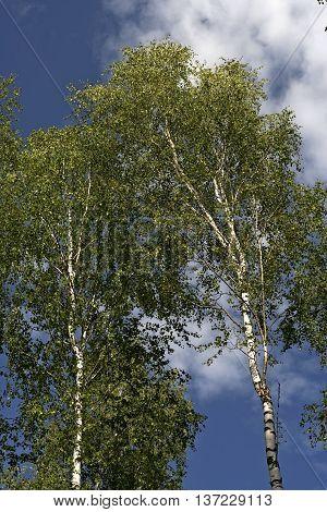white birch trees against the blue sky