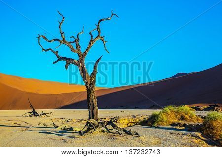 Namib-Naukluft National Park. The bottom of a dry lake with dry trees. The long shadows of the evening sunset