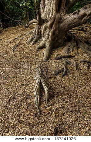 Yew tree roots rising out of the ground.