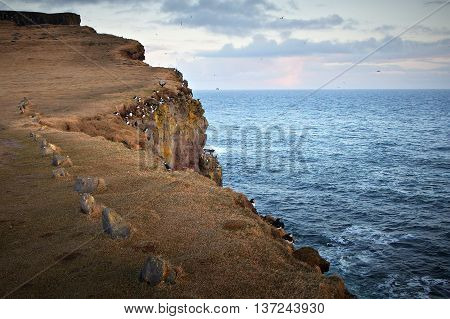 Atlantic Puffins (Fratercula Arctica) nest on the edge of the cliffs in the Latrabjarg peninsula, in the remote West Fjords of Iceland.