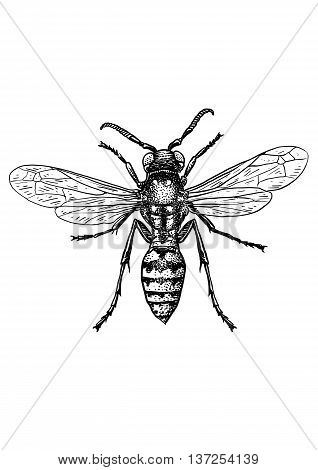 engraved, drawn,  illustration, insect, wasp, pinch, sting, bite