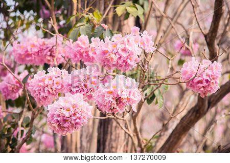 Pink trumpet (tabebuia) tree flower blooming. Pink flower neotropical tree.