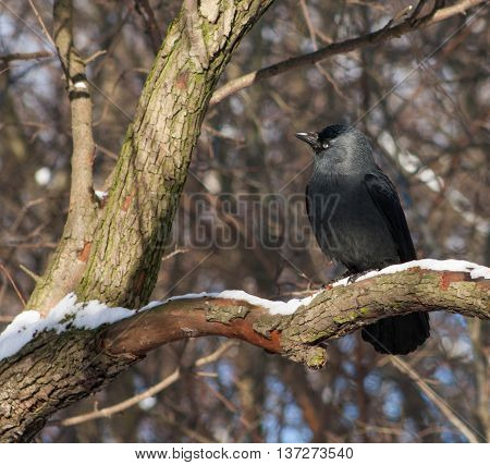 Jackdaw On A Branch