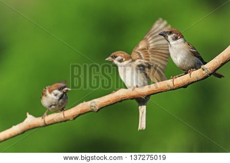 Three birds on a branch, sparrows, young birds, green background, bright colors