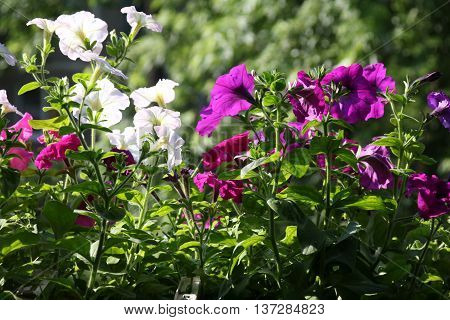 White and purple petunia flowers in pot. Growing hanging petunias close up