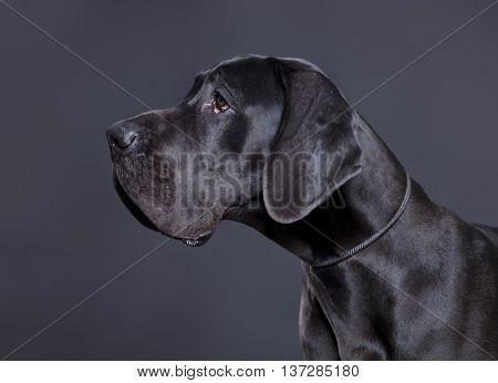 Portrait of a Great Dane