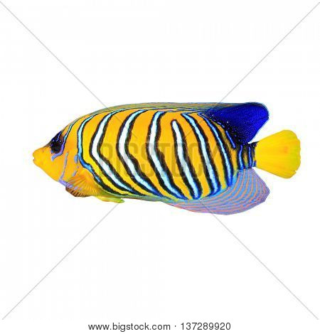 Tropical fish isolated: Regal (royal) Angelfish on white background
