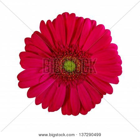 gerbera. gerbera flowers. Perfect Red Gerbera Flower Closeup Isolated on White Background