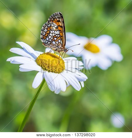 The reddish Checkered butterfly ( Melitaea aurelia ) on the flower of Leucanthemum vulgare ( Leucanthemum vulgare ) collects nectar