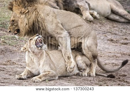 Two copulating lions in the kruger national park creating offspring