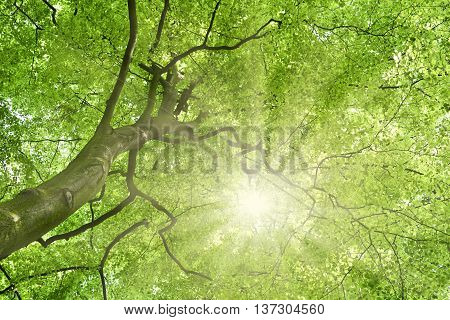 Beech tree and sun. View up to the tree top of a beech tree. Low angle view of a tree in a mixed forest in springtime with bright sun or sunbeam.