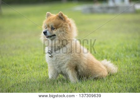 Cute brown Pomeranian is sitting and awareness