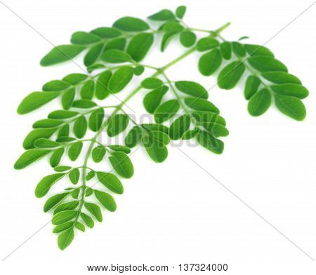 Close up of Medicinal moringa leaves over white background