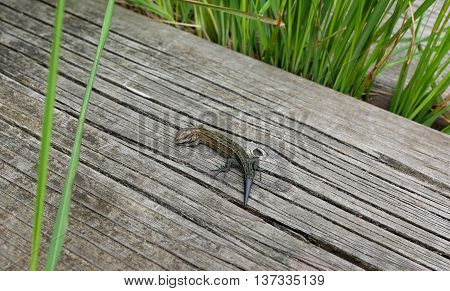 Common Lizard On A Boardwalk Among Grass
