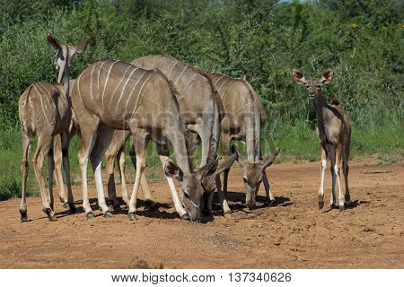 Group Of Female Kudu With Young Kudu