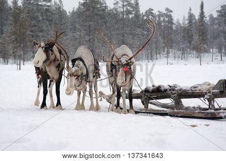 Sami reindeer sled on a snowy forest edge