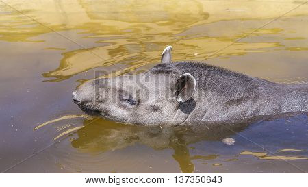 An adult tapir bath in the pool in the hot sunshine.