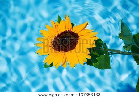 funny sunflower in the pool blue background
