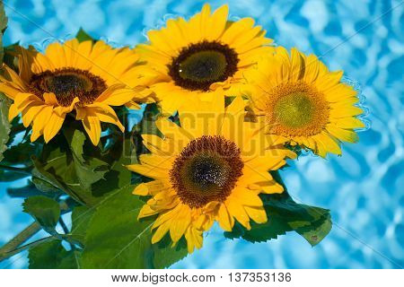 sunflowers in the pool, blue back ground