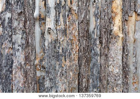 Natural tree bark plank texture. Untreated rustic wood background, rough timber plant surface. Weathered grunge styled fence.