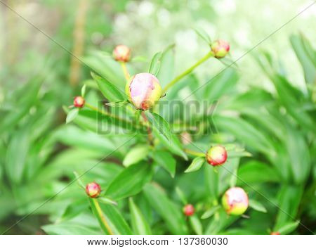 Unopened peony buds on blurred nature background