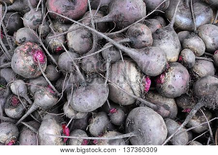 Large Heap of Raw Harvested Purple Beet