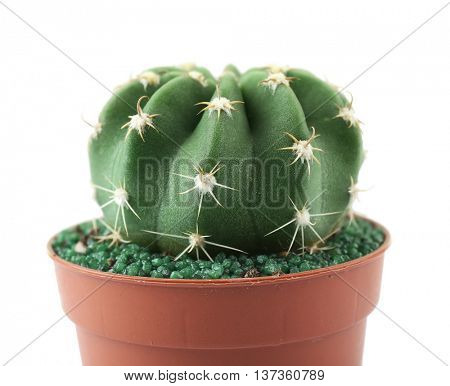 Home cactus in flowerpot on white background