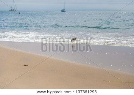 Sandpiper sea bird on the shore at Santa Cruz beach California USA