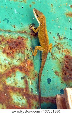 Green enole lizard on rusty green metal