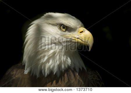 Head Of A Bald Eagle