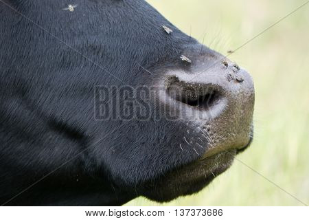 Cow's nose with flies on it, in profile. Livestock annoyed by insects attracted to wet nose around nostrils