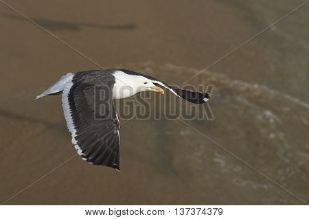 Kelp Gull (Larus dominicanus) in flight over the sea at the fish market in the UNESCO World Heritage port city of Valparaiso in Chile.
