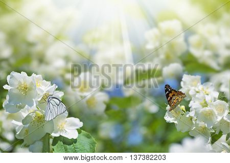 Spring background with flowering jasmine and two butterflies on flowers