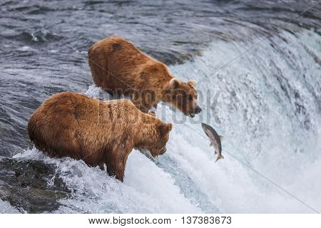 Wild grizzly bears fishing for salmon in Katmai National Park, Alaska, USA. Alaska's Kenai River offers silver, pink, red, and king salmon from May through October.