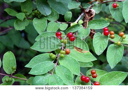 Red berries on a branch of Honeysuckle plant with copy space.