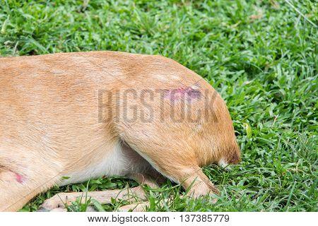 Close up Injured antelope lying on green grass