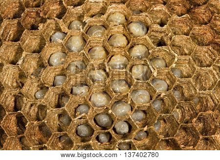 Inside a wasp nest showing hexagonal cells with larvae.