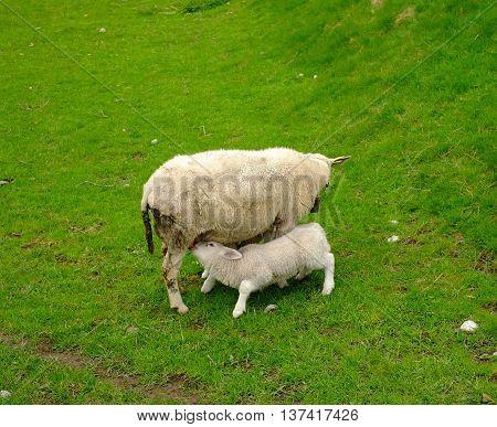 Lamb Sucks Milk