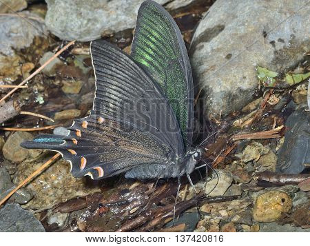 A close up of the drinking butterfly Maack's swallowtail (Papilio maackii).