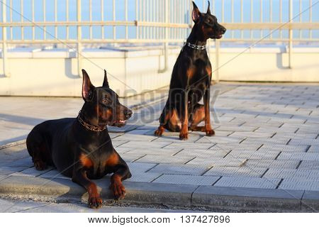Portrait of two beautiful brown Doberman pinscher sitting on the roof